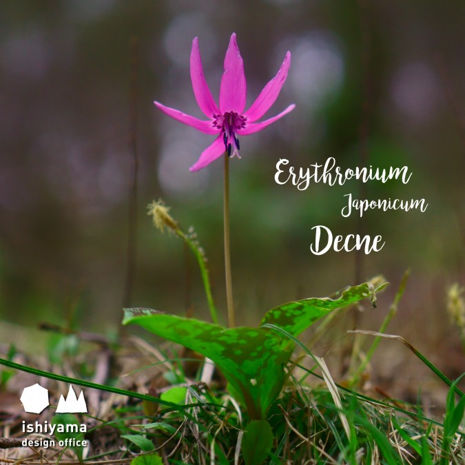 4月 Erythronium Japonicum Decne