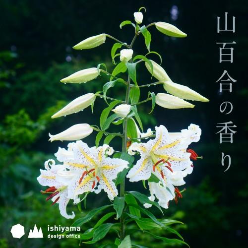 8月 山百合の香り
